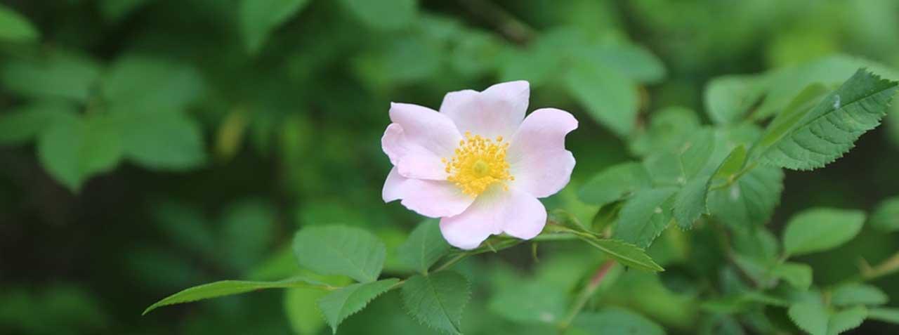 Aceite De Rosa Mosqueta En Cosmética